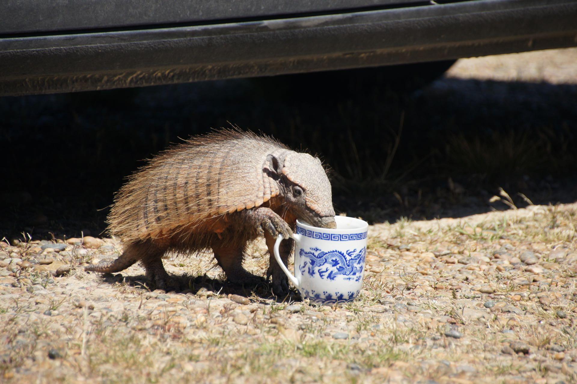 Gürteltier beim Kaffeeklau