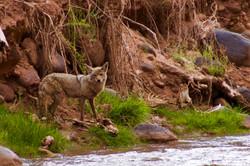 Coyote - selten gesehen