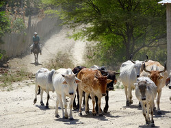 Rinder mit Gaucho