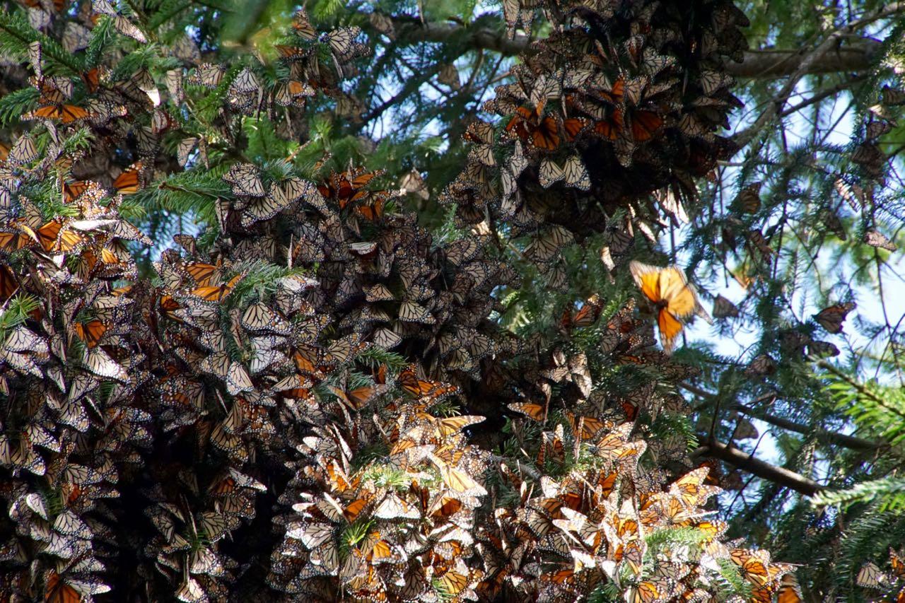 Schmetterlingstrauben