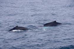 Die ersten Humpuck Wale