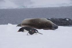 Weddel Seal mit Pingus