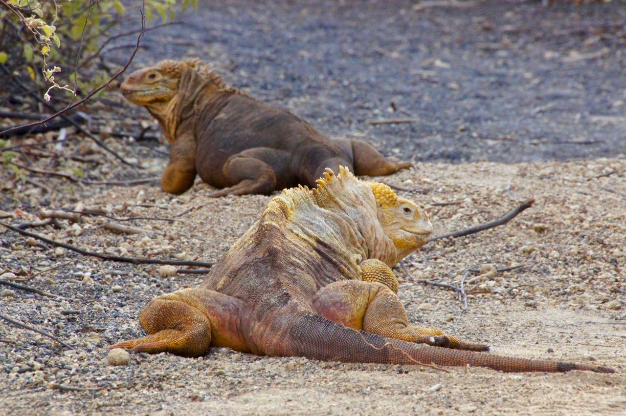 5 Leguanpaar