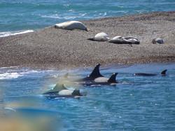 Orcas mit Jungen