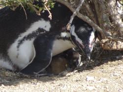 Die ersten geschlüpften Pinguine.jpg
