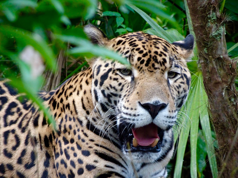 Jaguar II