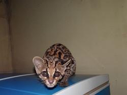 Was führ eine neugierige Wildkatze