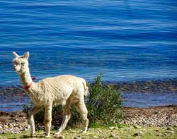 Alpaca am Titicacasee