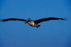 Pelikan im Flug erwischt