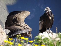 Condorpaar
