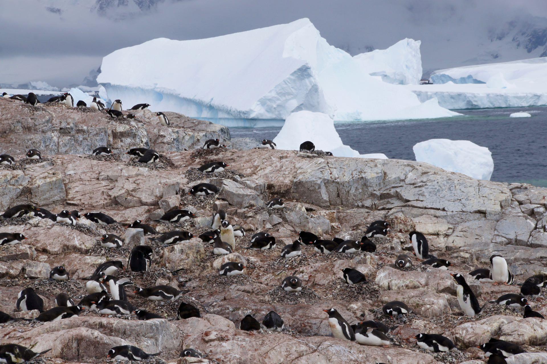 Pinguine auf Cuverville