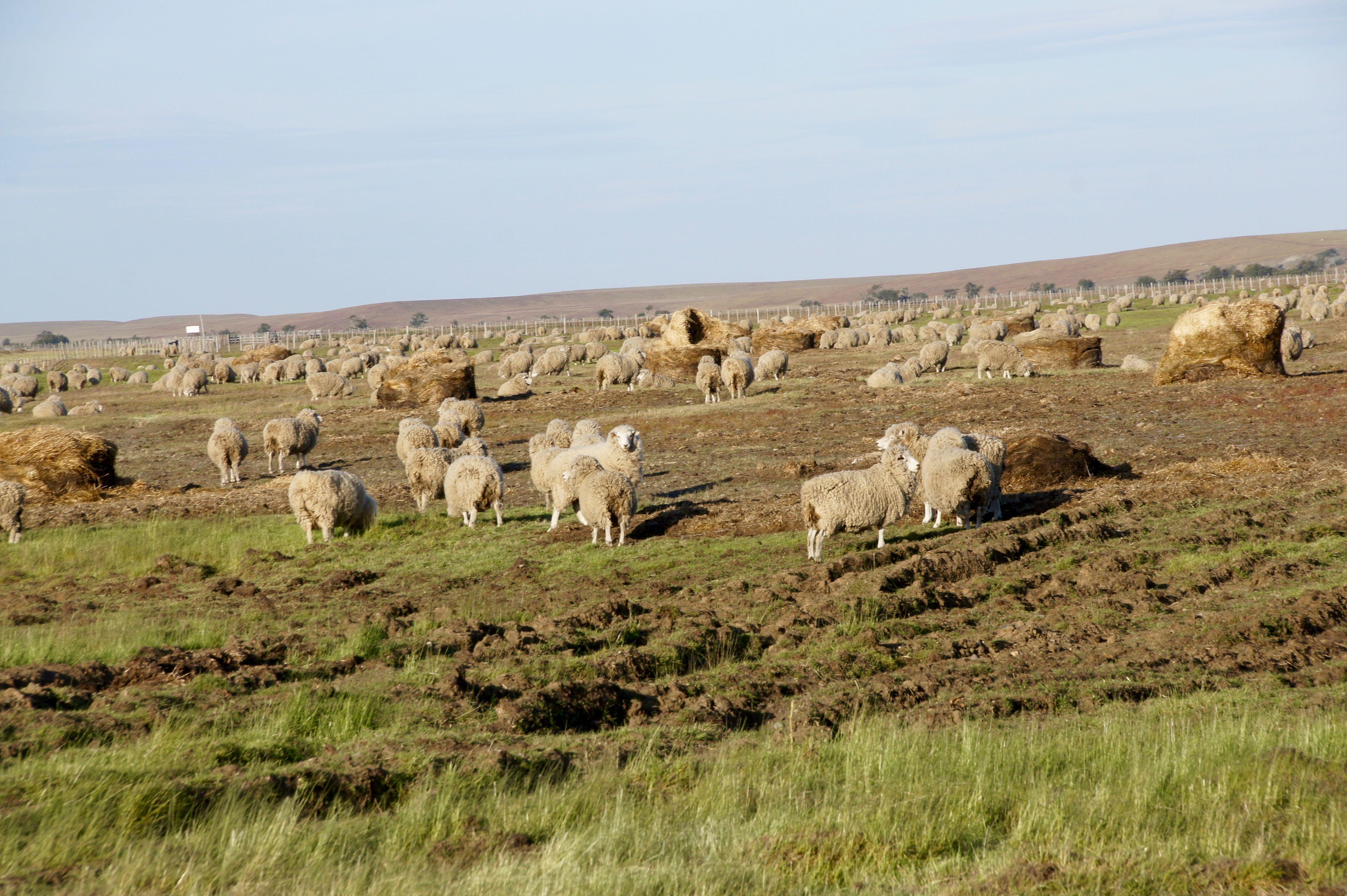 Und noch mehr Schafe...