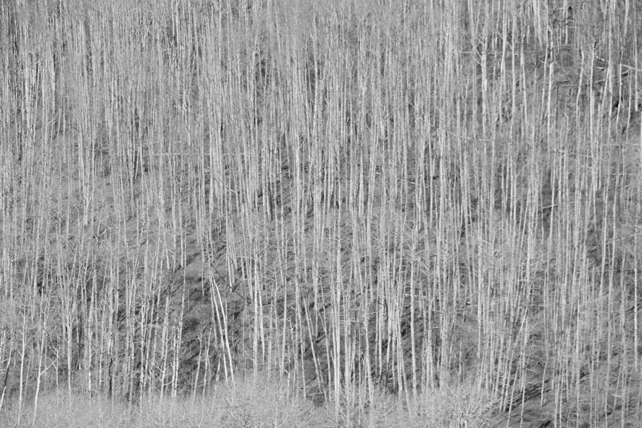 Birken im Frühling