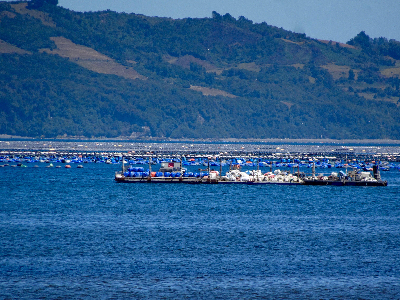 Muschelzucht vor Chiloé