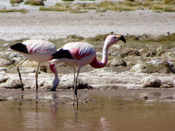 Flamingos in den Anden