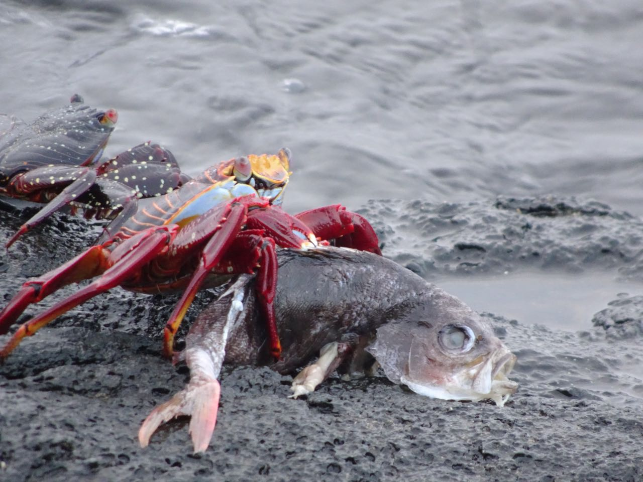 Krabbe isst Fisch