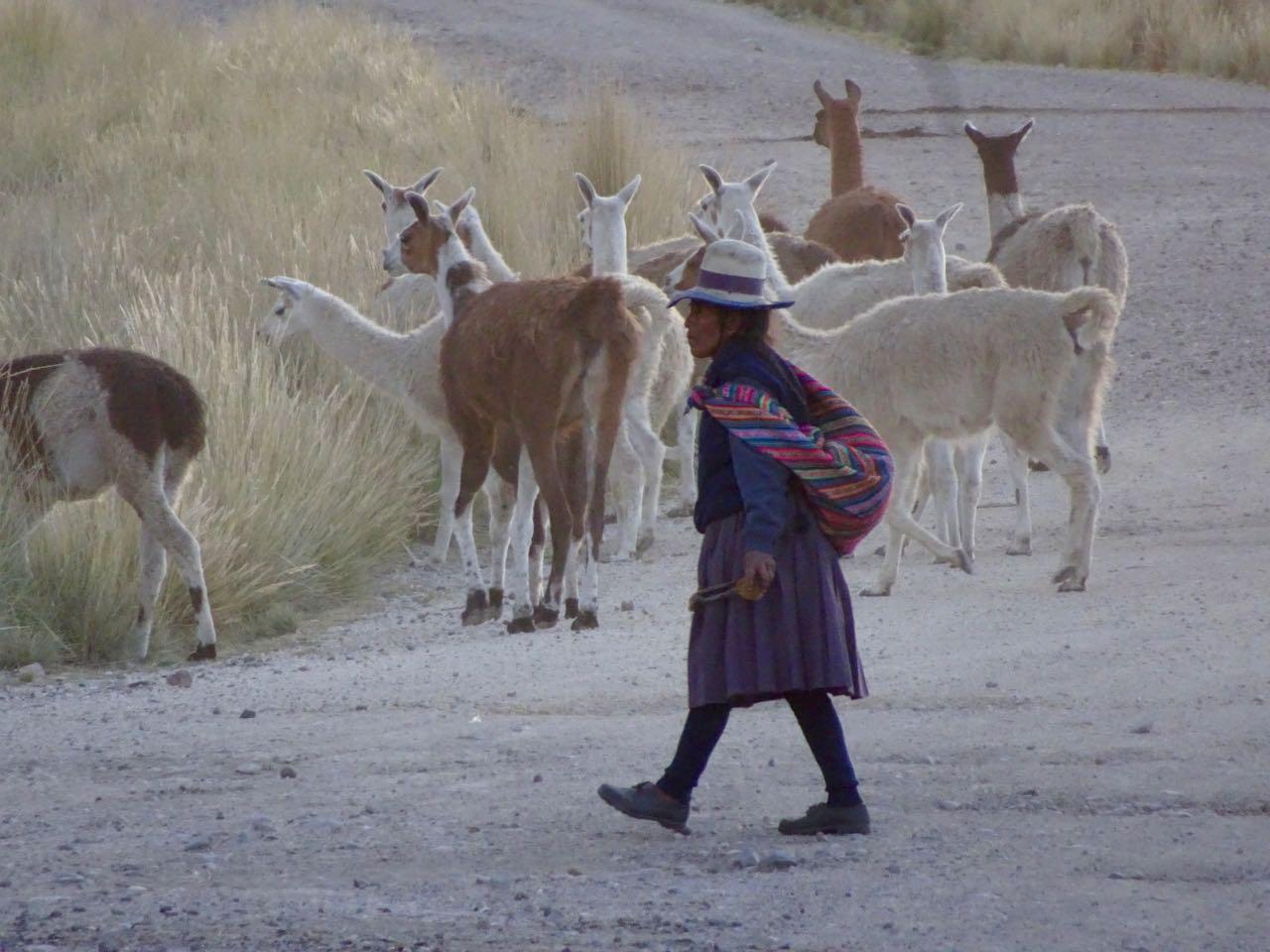 Lamas, Schafe, Kühe und Alpacas