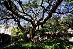 Riesige Eiche im Fort Alamo