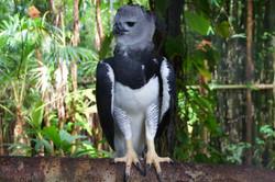 Harpy_Eagle_-_einer_der_grössten_Adler