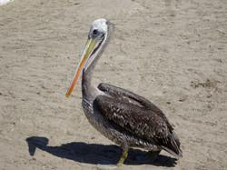 Grosse Pelikane