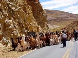 Die ersten Lamas
