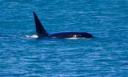 Orca - Kuh