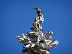 Der grösste Kolibri der Welt