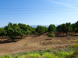 Mangobäume so weit das Auge reicht