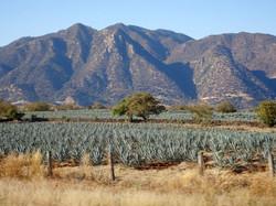 Riesige Felder blaue Agave