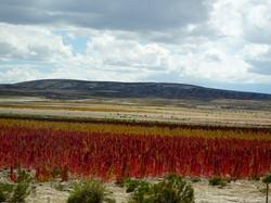 Quinoa Felder auf 4000m