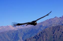 Aug in Aug mit dem Condor