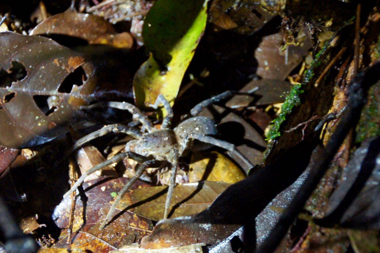 Giftigste Spinne der Welt - Bananenspinne