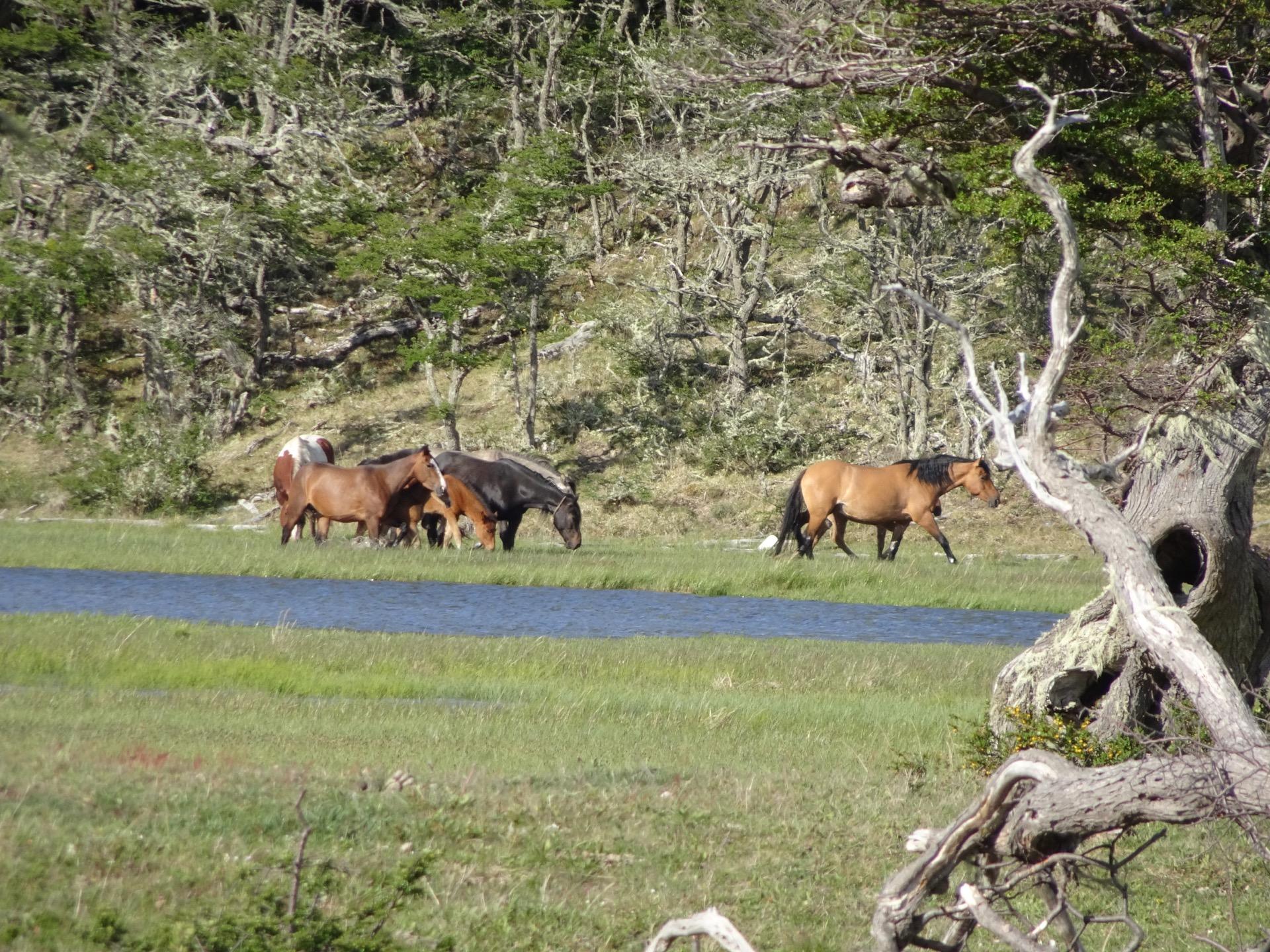 Pferde auf Feuerland