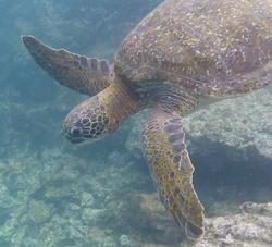 Schöne Schildkröte