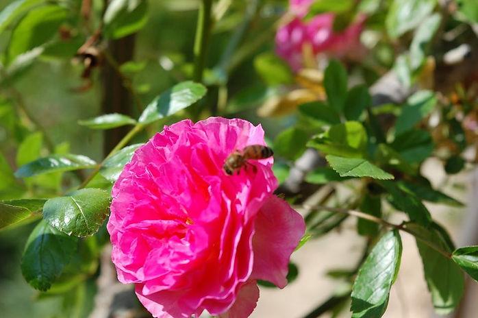 rose et abeille.jpg