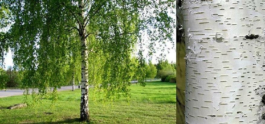 silver birch.jpg