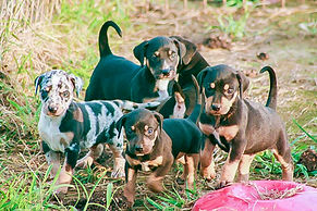 working catahoula breeder, catahoulas, working catahoulas, catahoul hog dog, catahoula cow dog, catahoula puppies