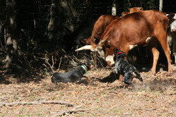 Vette and Slinky on cows