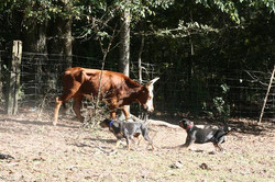 Dare and Hickory working yearlings
