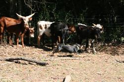Vette bunching cows