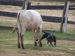 Cinder working a steer