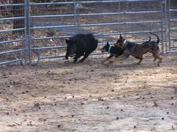 Reno and Vette in the bay pen