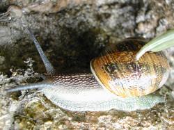 Escargot petit-gris