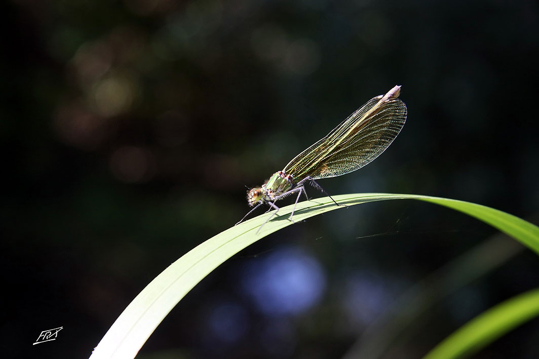 Calopteryx éclatant femelle