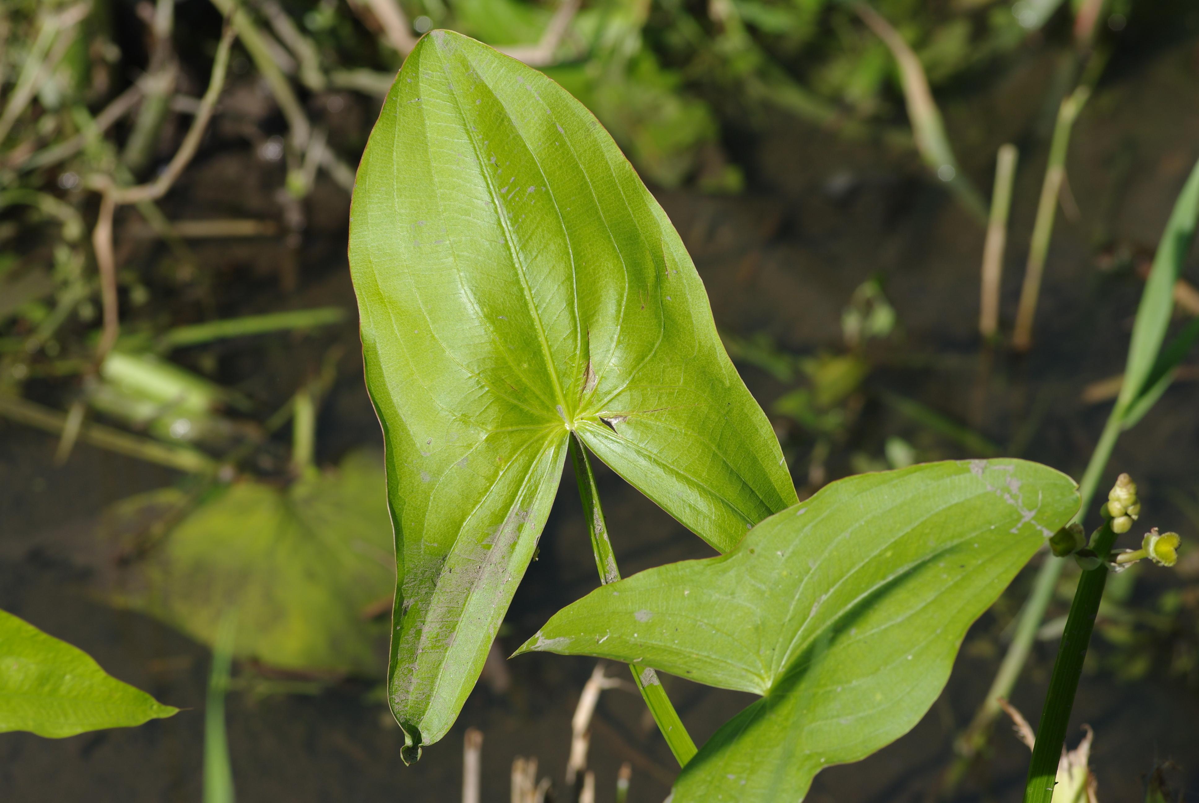 Sagittaire à feuilles larges