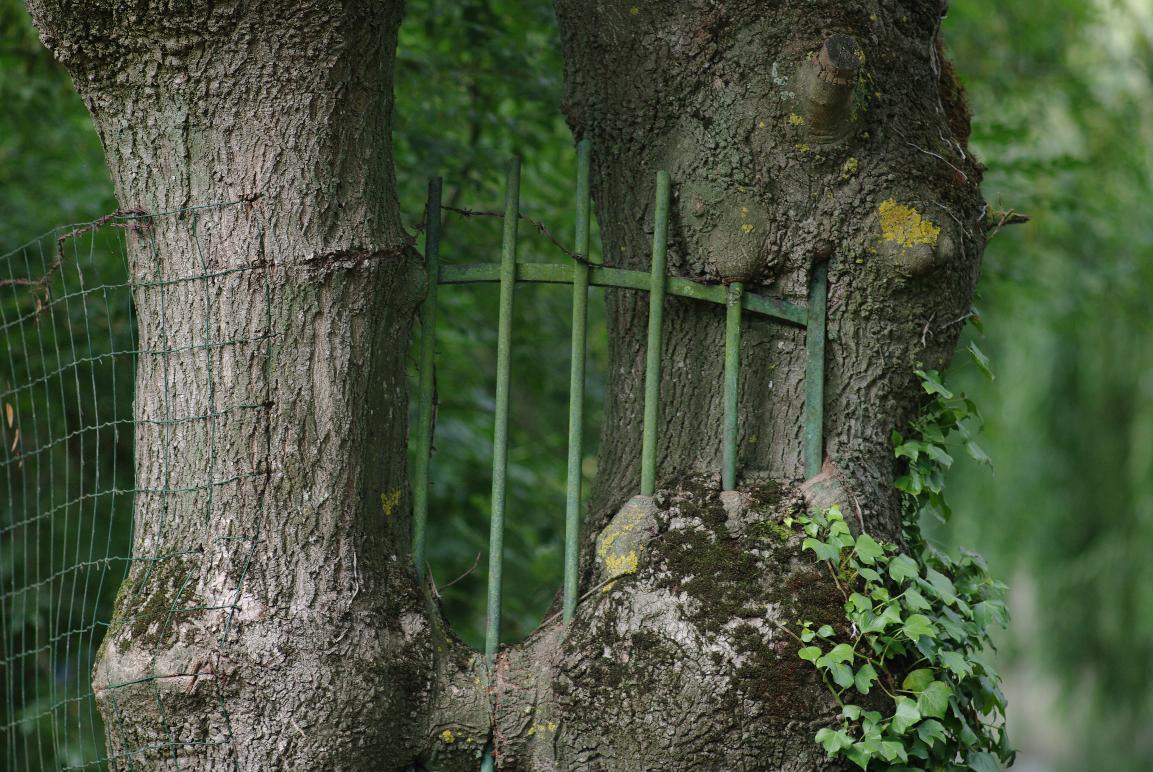 Barrière avalée par frêne