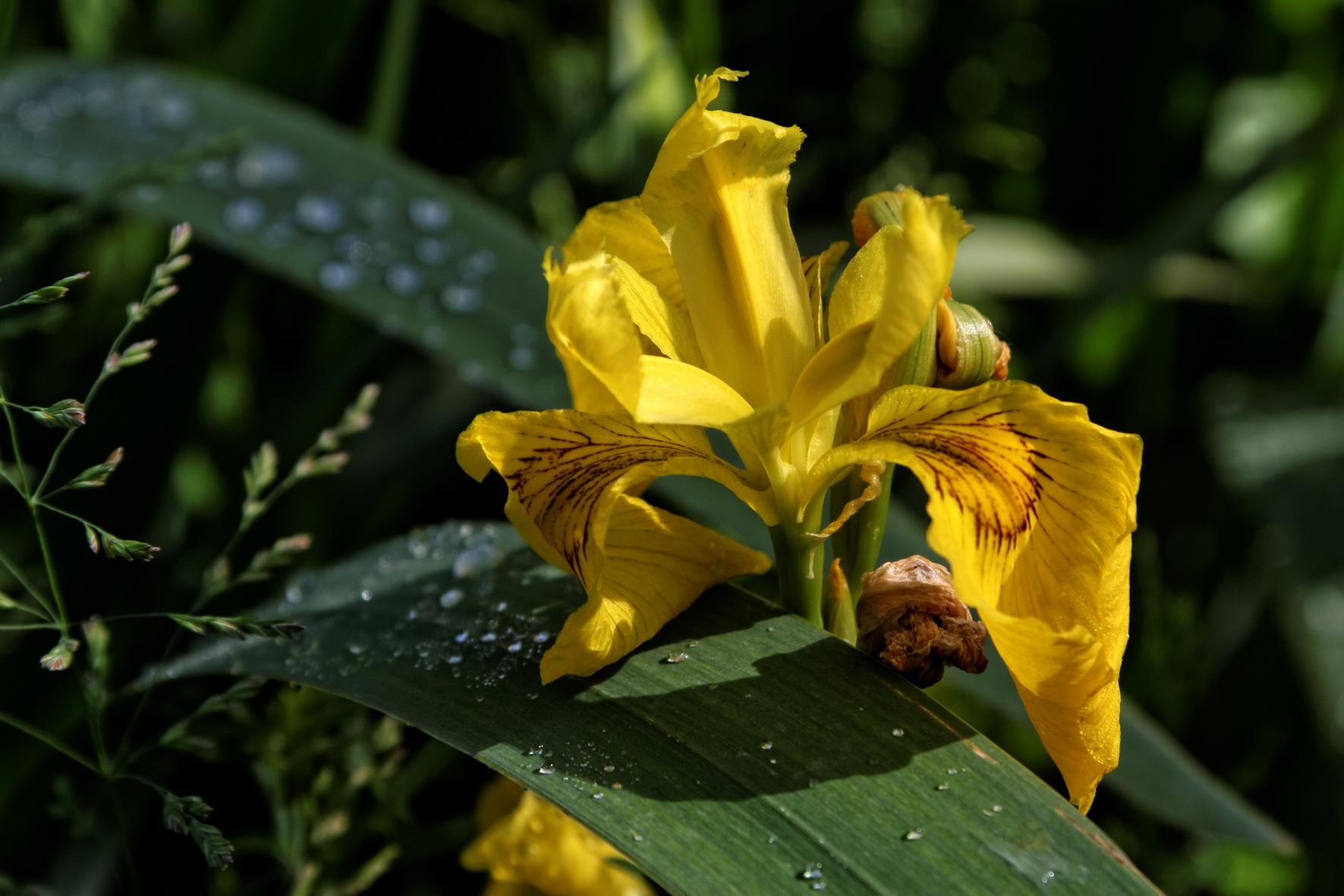 Iris des marais ou Iris faux-acore