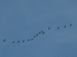 oies migration