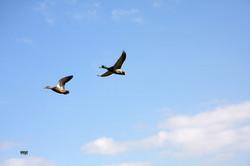 Canard colvert, couple en vol