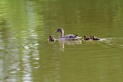 Cane de Canard colvert et ses jeunes